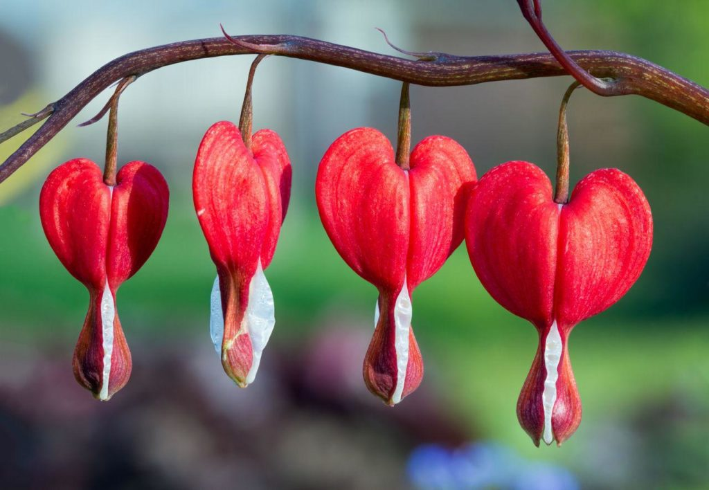 The Bleeding Heart flower