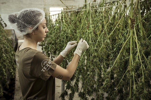 Where to Legally Buy CBD Seeds Online